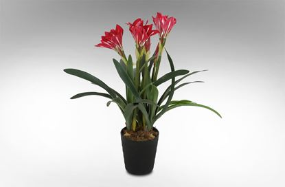 Picture of Crinum Lilies Red 95cm