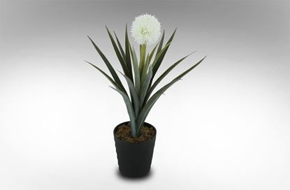 Picture of Hoya Archboldana Single Flower