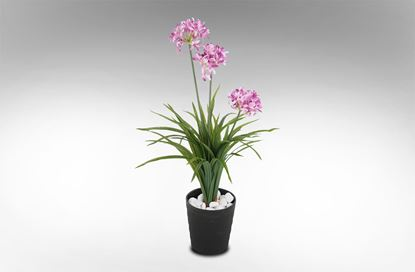 Picture of Narcissus Pink In Round Pot