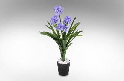 Picture of Narcissus Purple In Round Pot