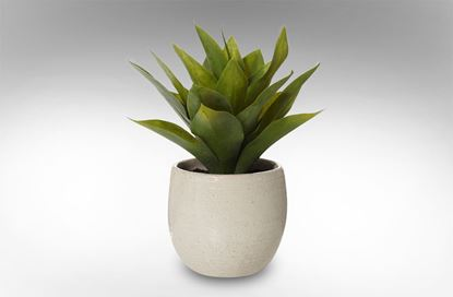 Picture of African Agave