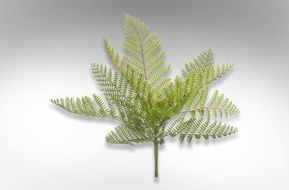 Picture of Boston Fern