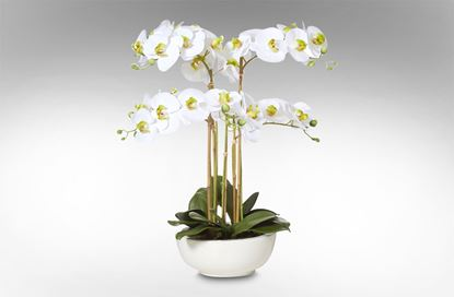 Picture of Phalaenopsis-Cer Bowl 62cm