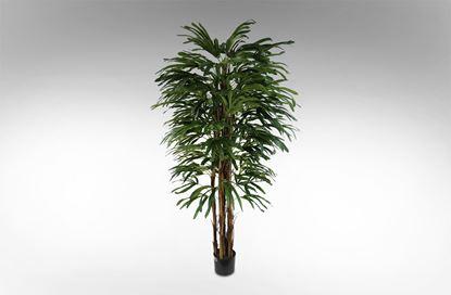 Picture of Rhapis Palm 170cm