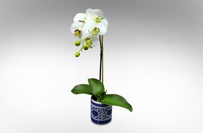 Picture of Dynasty Orchid Single Stem