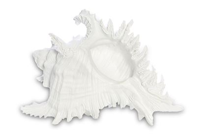 Picture of Oahu Shell