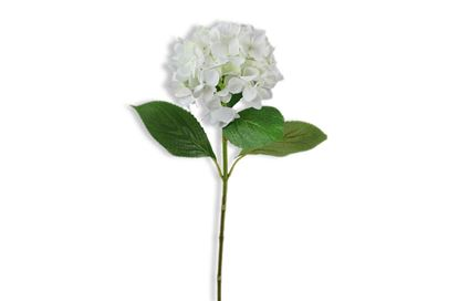 Picture of Hydrangea White