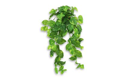 Picture of Pothos Hanging Bush