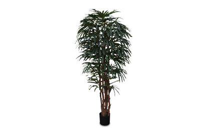 Picture of Rhapis Palm 200cm