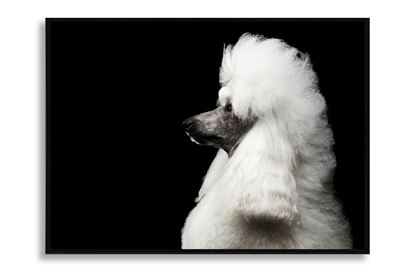 Picture of Fancy Poodle