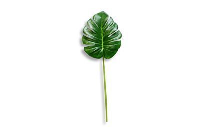 Picture of Monsteria Leaf
