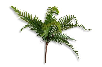 Picture of Blechnum Fern