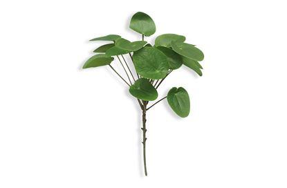 Picture of Money Plant Stem