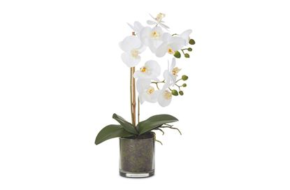 Picture of Butterfly Orchid