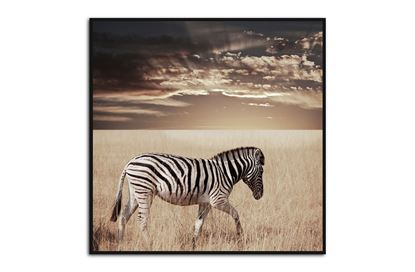 Picture of Zebra Sunset 80 x 80 B/F