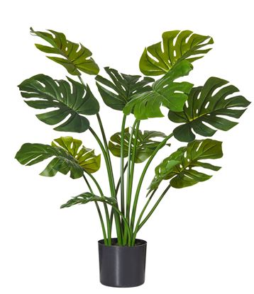 Picture of Monsteria Plant 90cm