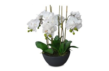 Picture of Glamour Orchid Black