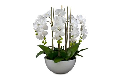 Picture of Posh Orchid